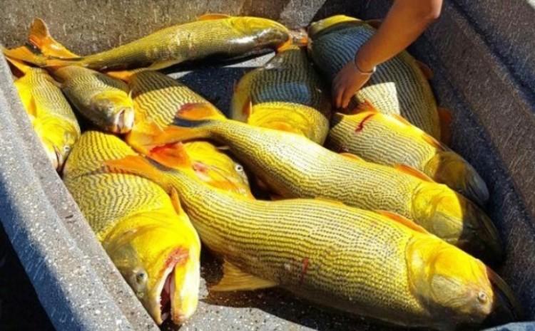 Matança de dourados se dá perto de hidrelétrica no Rio Paraná