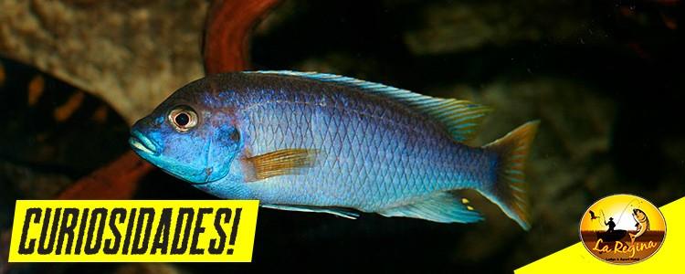 Espécie de peixe consegue diferenciar os rostos de amigos e de predadores