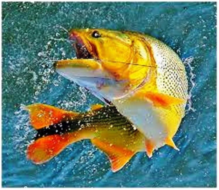 Pesca de dourados no inverno : Corricar é uma boa opção