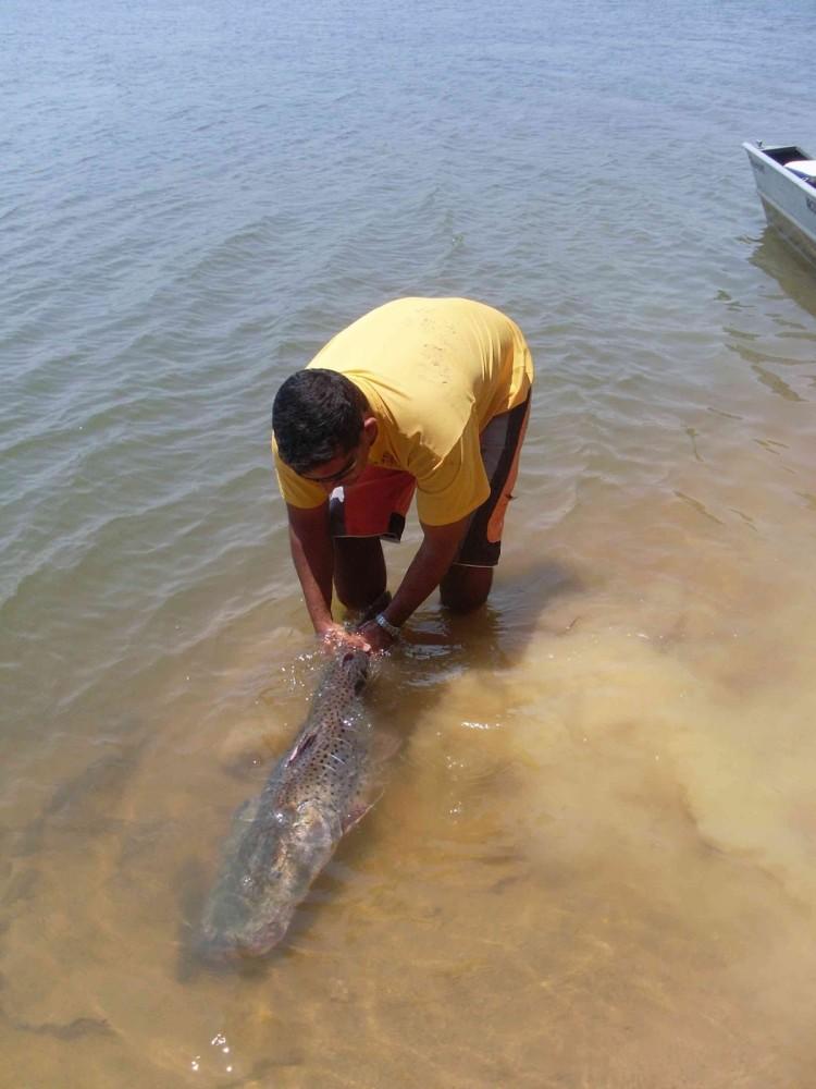 Surubim  pintado um dos maiores peixes do Pantanal.
