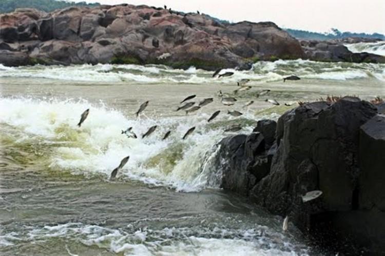Entenda a importância da Piracema para a preservação das espécies de peixe