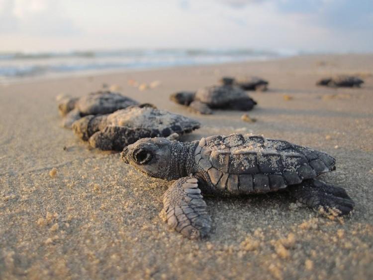 Na India tartarugas bebes aproveitam quarentena humana para chegar ao mar